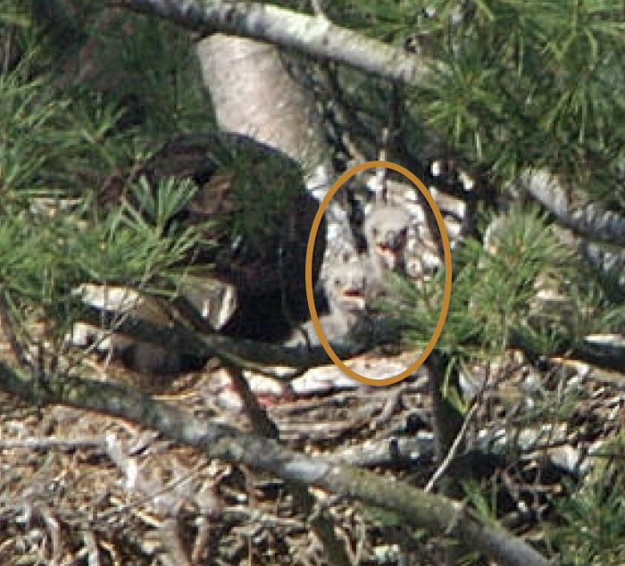 2 young eaglets