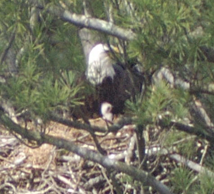 3 day old eaglet