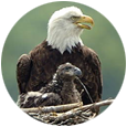 Breeding eagles