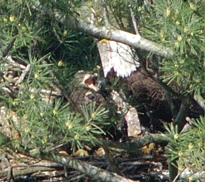 hungry eaglet