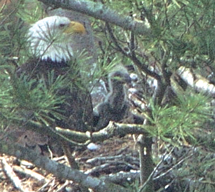 Eagle Breeding young may 1, 2004