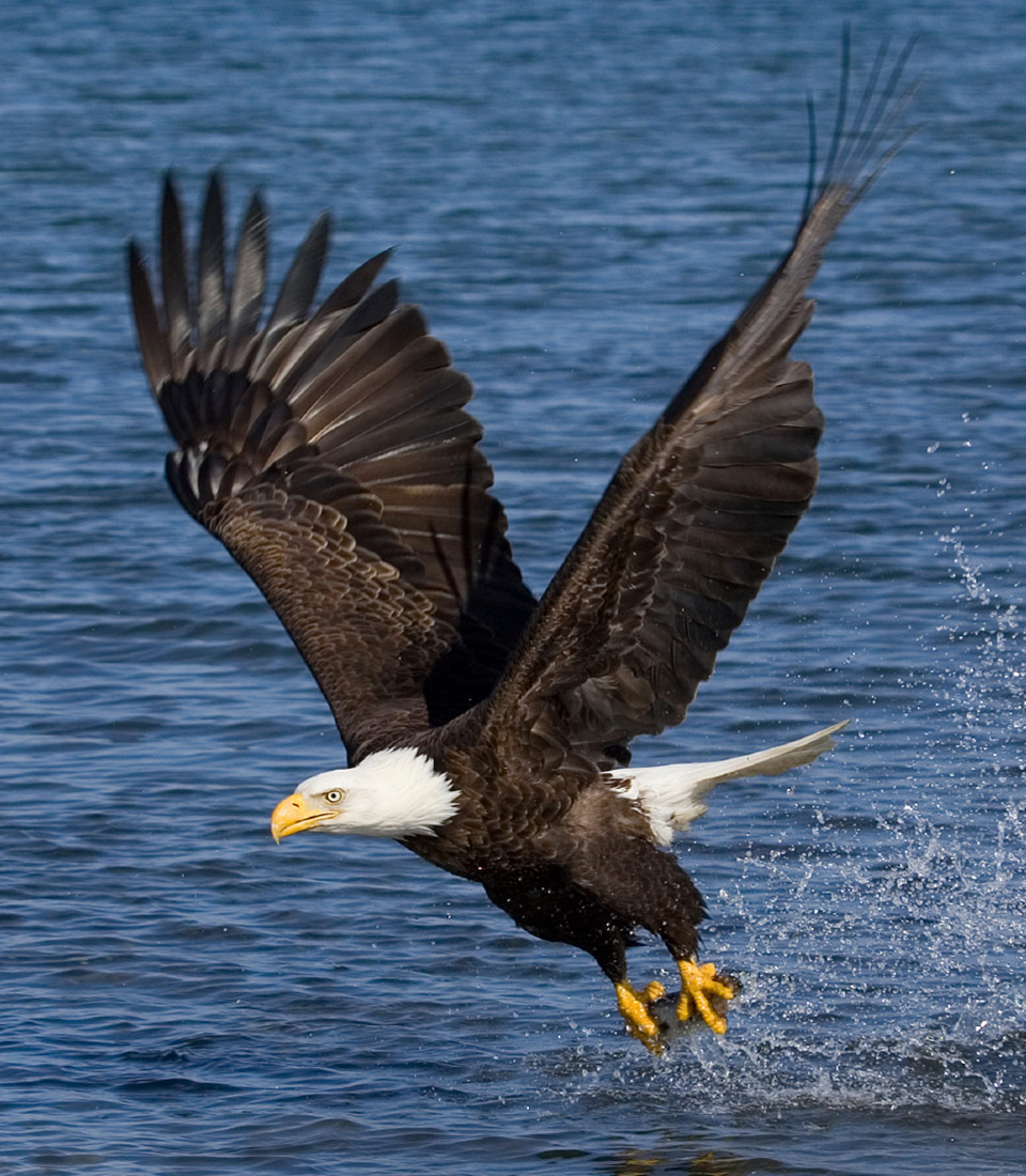 adult eagle in flight with fish