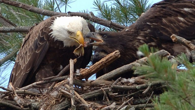 eagle and eaglet by Alex Wexler