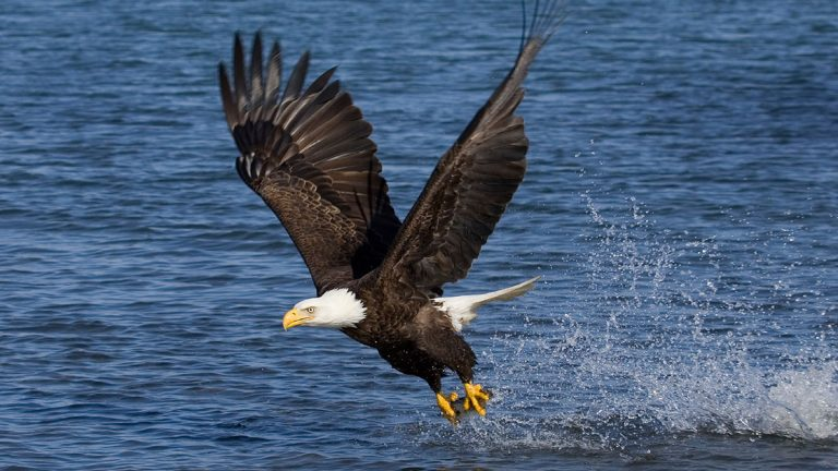 eagle fishing in flight