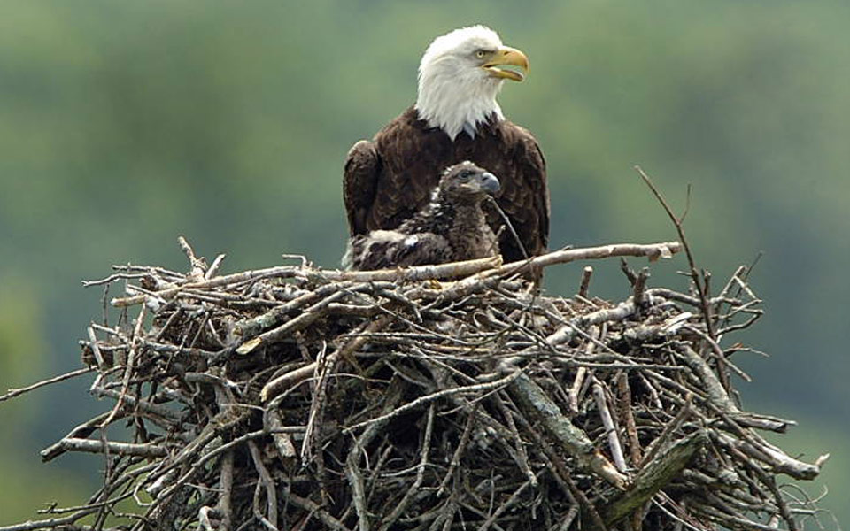 eagle with fledging
