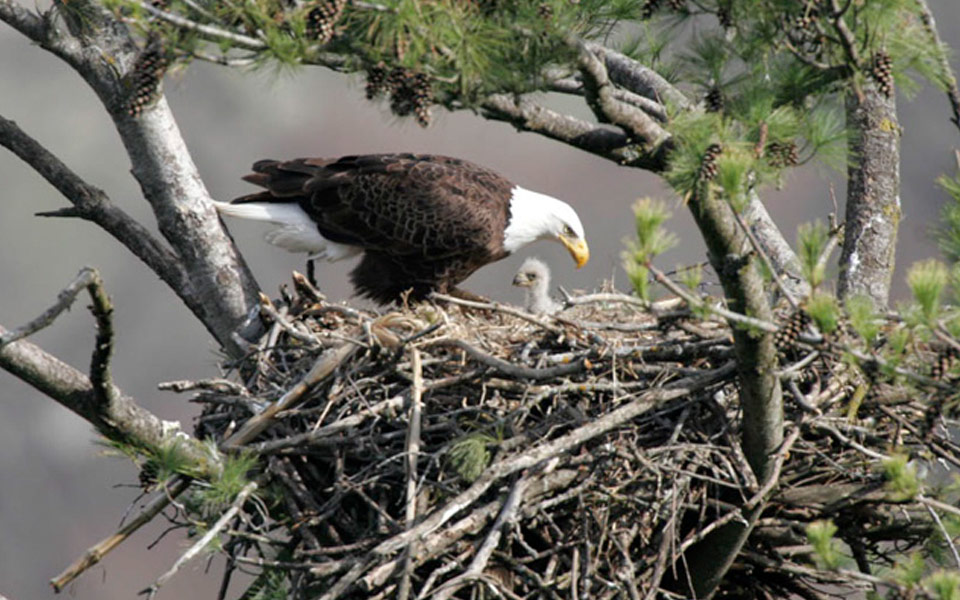 eagle and eaglet in a nest