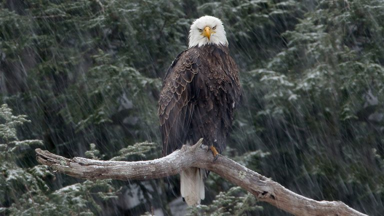 eagle on branch by Stephen Davis