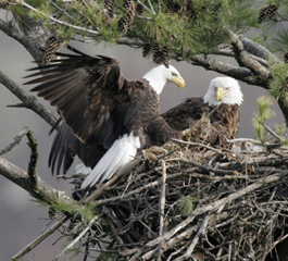 eagles_2adultsinnest