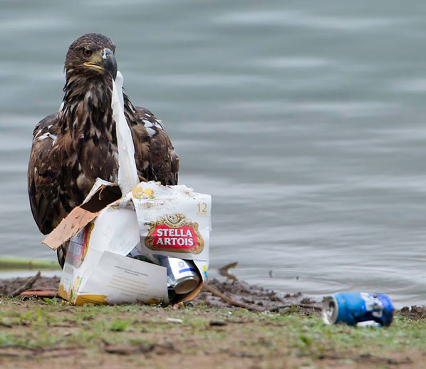 juvenile eagle with garbage