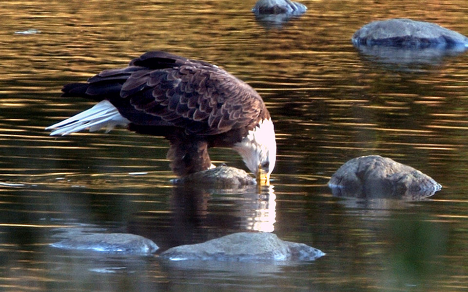 eagle drinking from the River in the fall
