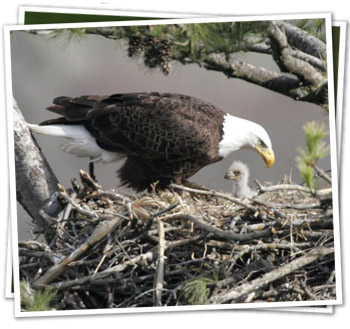 nest with adult and eaglet