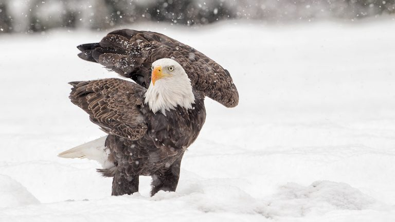 winter eagle by Stephen Davis